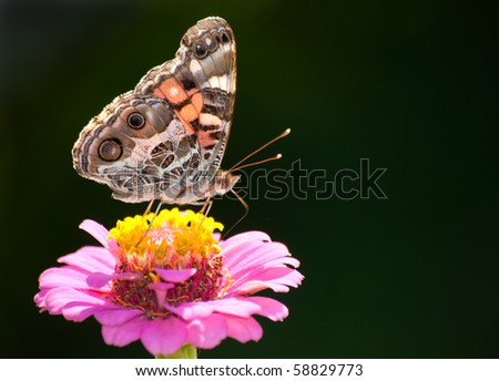 Colorful American Painted Beauty butterfly - stock photo