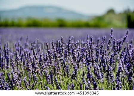 colorful and fragrant lavender flowers in the prairies in southern France surrounded by yellow wheat