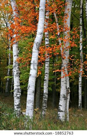 Colorful Aspen Birch Tree in the wild - stock photo