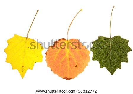 colorful aspen leaves on isolated  Image ID - stock photo