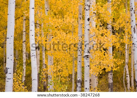Colorful Aspen trees during their change as Autumn arrives. - stock photo