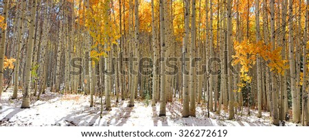 Colorful Aspen trees in snow at Kebler pass Colorado - stock photo