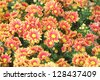Colorful Aster flowers - stock photo
