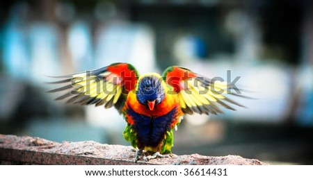 Colorful Australian Rainbow Lorikeet with Wings Outstretched - stock photo