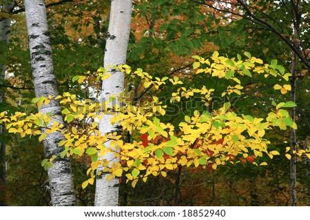 Colorful Autumn Birch Tree Branch Closeup - stock photo