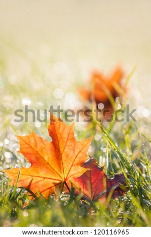 colorful autumn dewy grass in the morning - stock photo