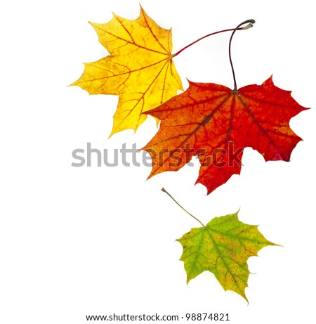 colorful autumn fall  leaves maple isolated on white background - stock photo
