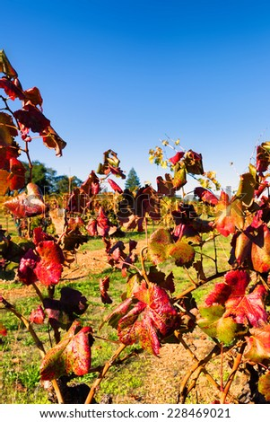 Colorful autumn grape leaves in a California vineyard at harvest time - stock photo