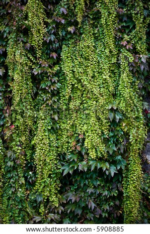 Colorful autumn Ivy leaves growing on a wall - stock photo