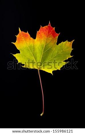 colorful autumn leaf of maple isolated on black - stock photo