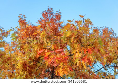 Colorful autumn leaves oak on the tree against the sky