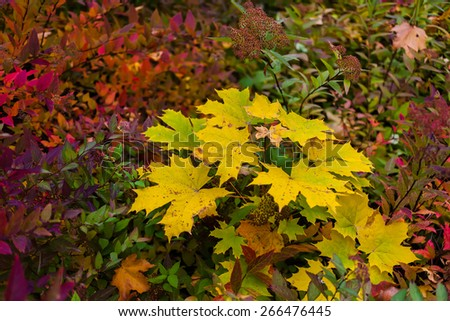 colorful autumn maple leaves as background in the park - stock photo