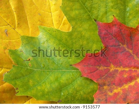 Colorful autumn maple leaves background