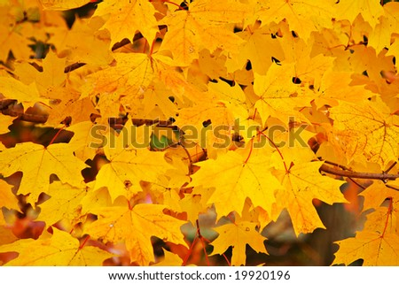 Colorful Autumn Maple leaves - good for background.