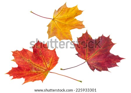 Colorful autumn maple leaves isolated on white background with clipping path - stock photo