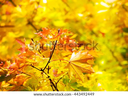 Colorful autumn maple leaves on a tree branch. Yellow autumn leaves background with copy space - stock photo
