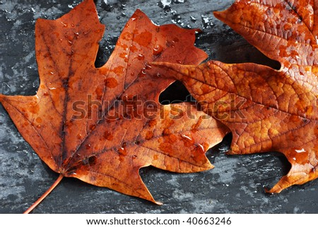 Colorful autumn maple leaves with raindrops on natural slate rock.  Macro of details and texture.