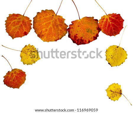colorful autumnal aspen leaves isolated  on white background - stock photo