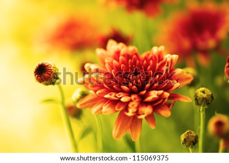 Colorful autumnal chrysanthemum flower - stock photo