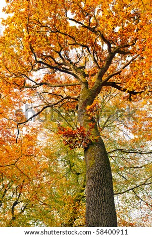 Colorful autumnal oak tree - stock photo