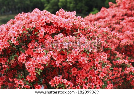 colorful azaleas blooming in spring in the garden - stock photo