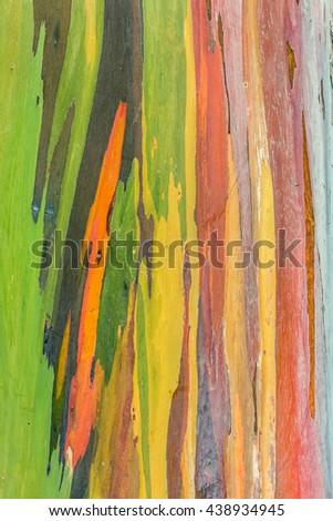 Colorful bark of a rainbow tree in Hawaii - stock photo