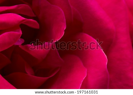 Colorful, beautiful, delicate rose petals - stock photo