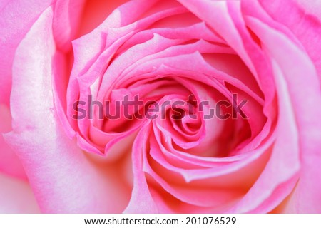 Colorful, beautiful, delicate rose with details