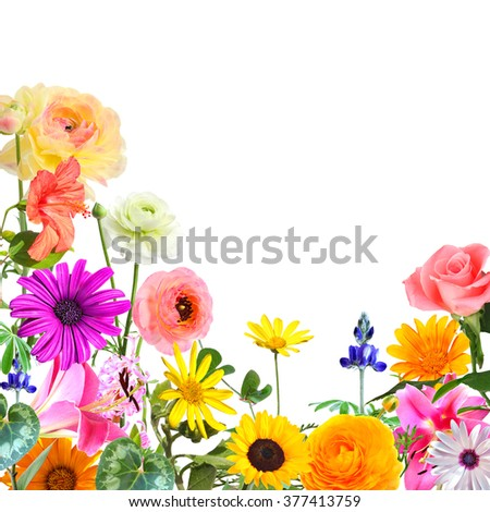 Colorful beautiful flowers isolated on white. Nature abstract background with copy space.  - stock photo