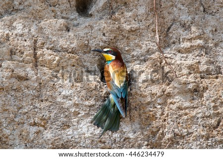 Colorful Bee-eater bird. - stock photo
