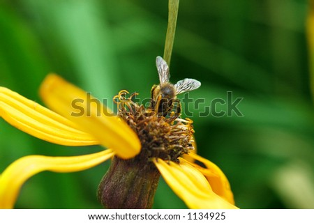 Colorful bee feeding on flower, collecting pollen for honey. (Orthetrum cancellatum) - stock photo