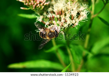 Colorful bee feeding on flower. Sunny summer day, collecting pollen. (Orthetrum cancellatum) - stock photo