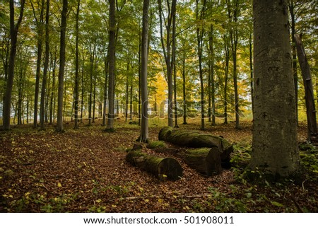 Colorful beech wood in autumn