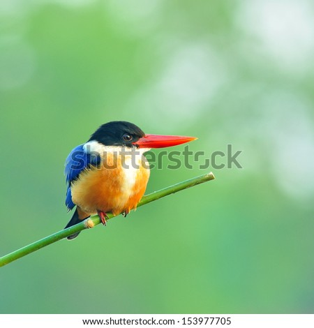 Colorful Bird (Black-capped Kingfisher) on green background - stock photo