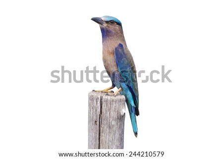 Colorful bird on a branch (Indian Roller) ,Bird of Thailand isolated on white background, with clipping path - stock photo