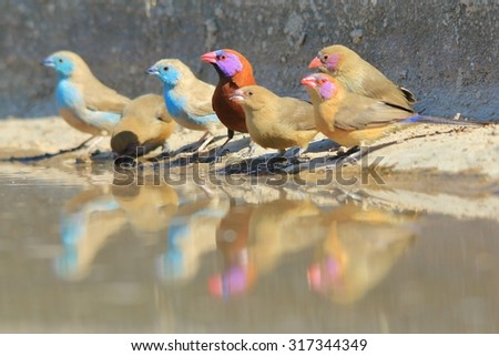 Colorful Birds from Africa - Reflection of Beauty - Waxbill Gathering - stock photo