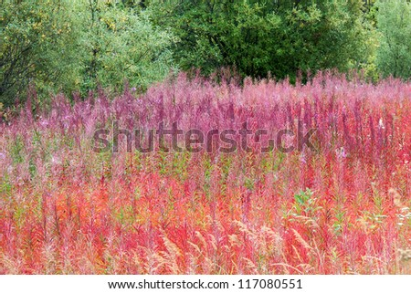 Colorful Blooming Fireweed in Alaska - stock photo