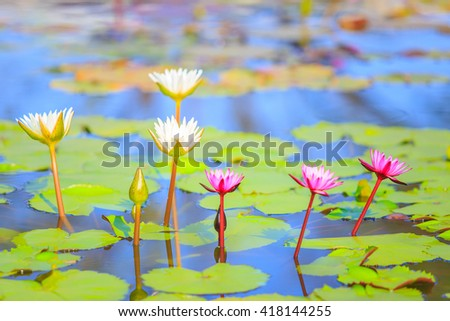 Colorful blooming pink water lily or lotus flower. - stock photo