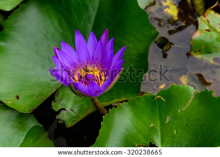 Colorful blooming purple (violet) water lily (lotus) with bee is trying to keep nectar pollen from it. The view captured at a lotus pond in Singapore. Beautiful floral background - stock photo