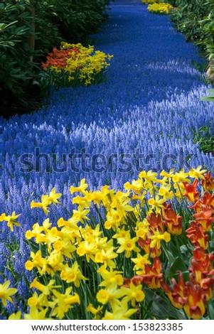 Colorful blooming tulips in Keukenhof park, Netherlands - stock photo
