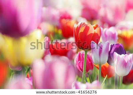 colorful blooming tulips, lower saxony