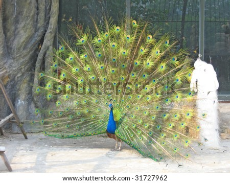 Colorful 'Blue Ribbon' Peacock in full feather at the Dalian Zoo China