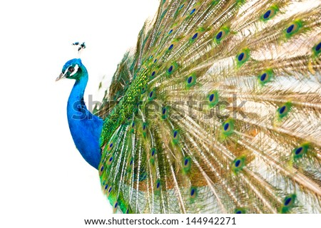 Colorful 'Blue Ribbon' Peacock in full feather on white background. - stock photo