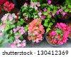 Colorful bougainvillea flower in pot - stock photo