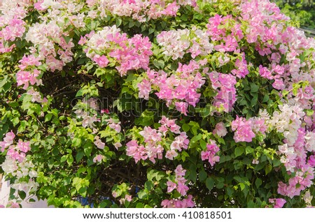 Colorful bougainvillea flowers It is a beautiful