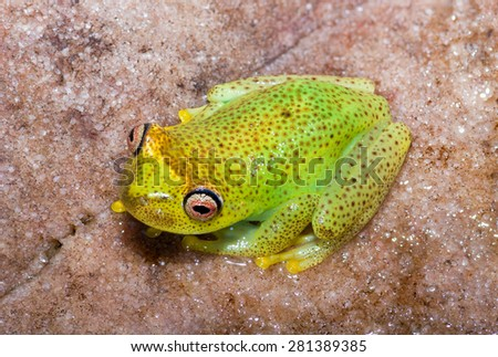 Colorful bright-colored frog found in Canaima National Park, on top of the Akopan Tepuy - stock photo