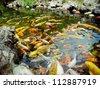 Colorful brocaded carps - stock photo