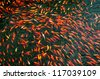 Colorful brocaded carps - stock photo