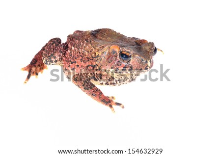 Colorful brown frog isolated on white  - stock photo