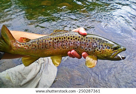 Colorful Brown Trout - stock photo